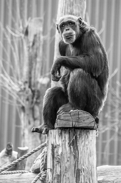 Chimpanzee sitting on stump just chillin' as he looks into the camera