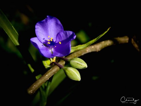 Delicate Purple Flower © Imagery by Charly™   All Rights Reserved