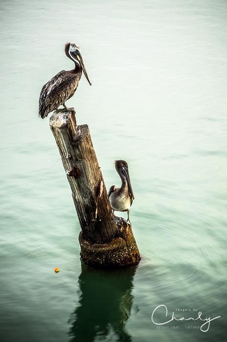 Brown Pelicans © Imagery by Charly™   All Rights Reserved